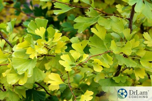gingko plant before being processed for adrenal fatigue supplements