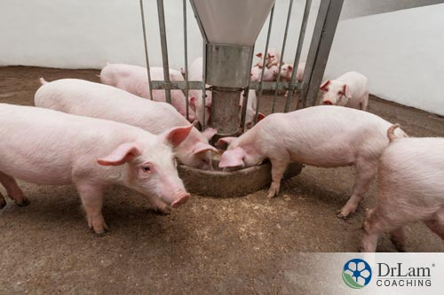 Multiple pigs that could be tainted meat