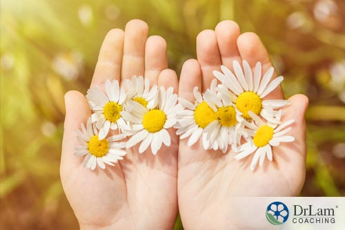 Chamomile, one of various calming herbs, in a child's hands