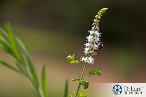 picture of an herb from which fertility supplements are made