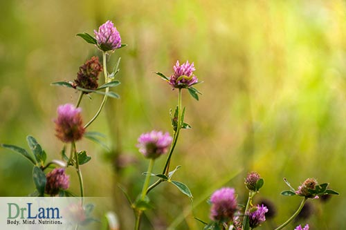 Making a tea that provides red clover benefits