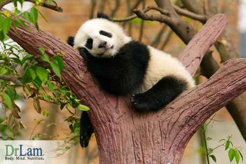 This Panda sleeping in a tree is living its life according to its biological clock