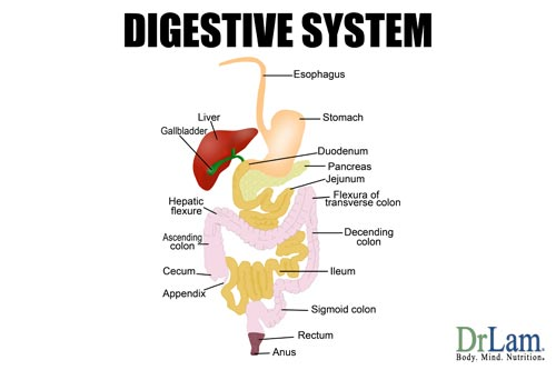 Illustration of the many components of the digestive system including the liver and rectum. These organs all benefit from digestive enzyme supplements.
