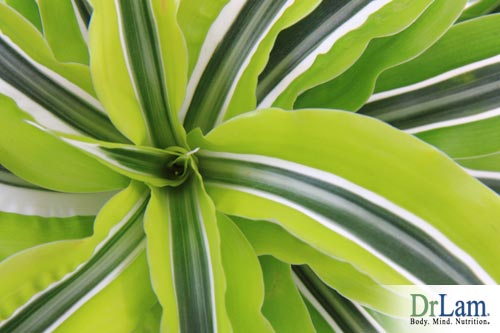 Dracaena air cleaning plants