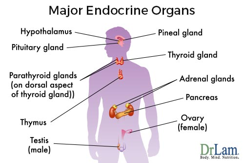 Overview of the endocrine system - the home of Adrenal Fatigue
