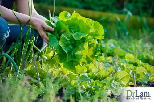 A healthy lettuce grown from rich soil including fulvic acid benefits