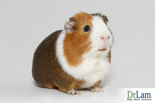 Ascorbyl palmitate in guinea pigs