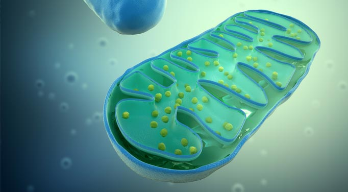Mitochondria help with energy and prevent adrenal gland diseases