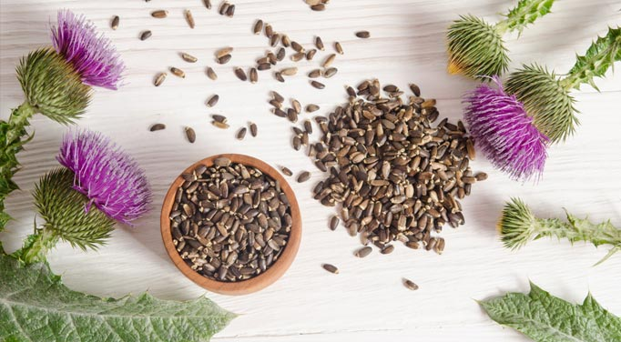 Springs of milk thistle and it seeds, a potent example of liver cleansing herbs