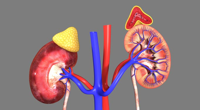Two walnut sized adrenal glands sit on top of the kidneys, so what does the adrenal gland do?