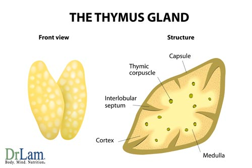 Studies of the thymus show vitamin C's natural immune boosters help the body, another line of defense against Adrenal Fatigue