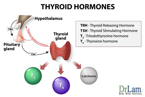 The thyroid is important in Adrenal Fatigue