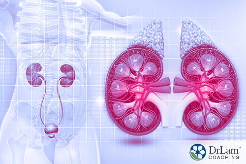 An image of the kidneys and adrenal glands