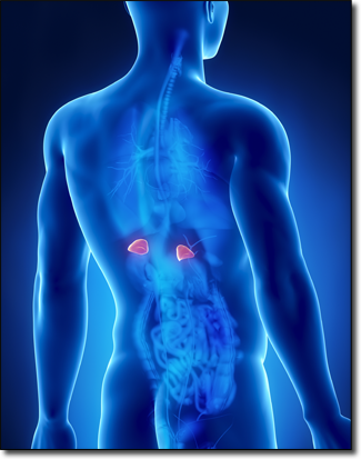 The glands responsible for Adrenal Fatigue